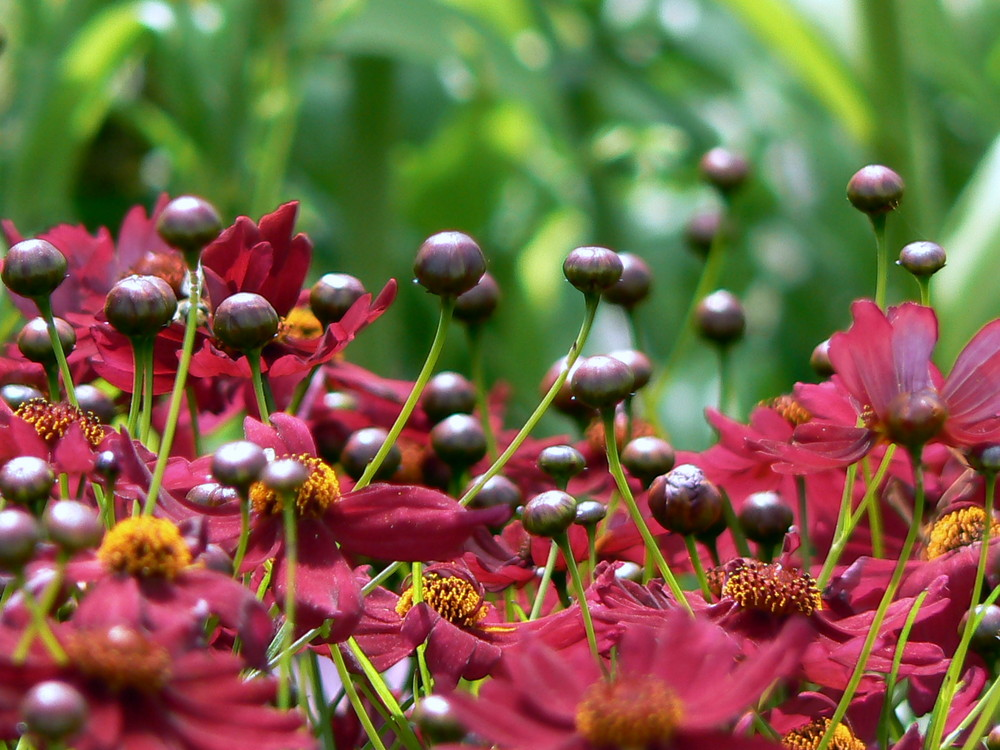 Anémone Tomentosa rouge