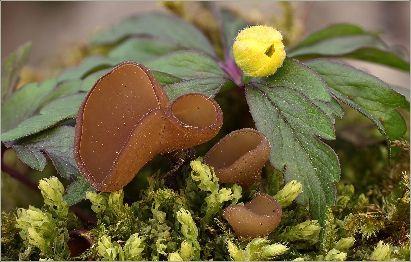 Anemonenbecherling (Dumontinia tuberosa)