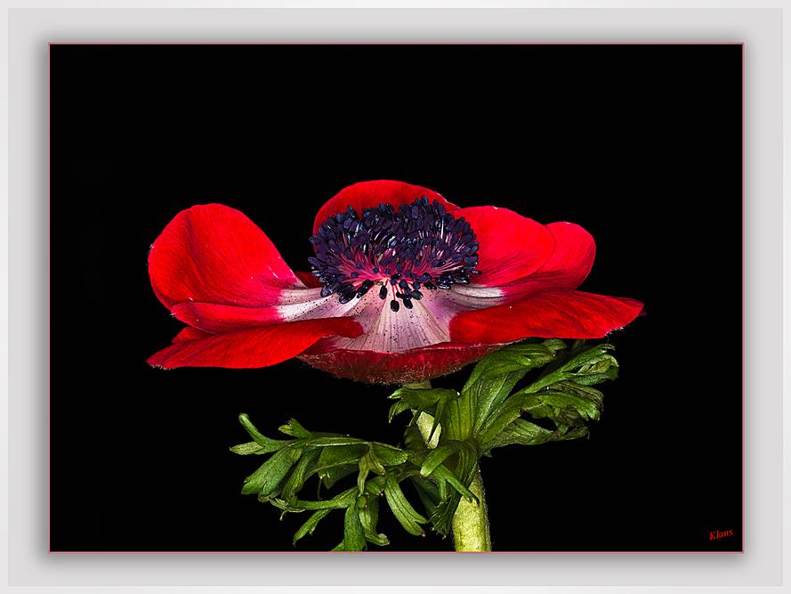 Anemonenblüte