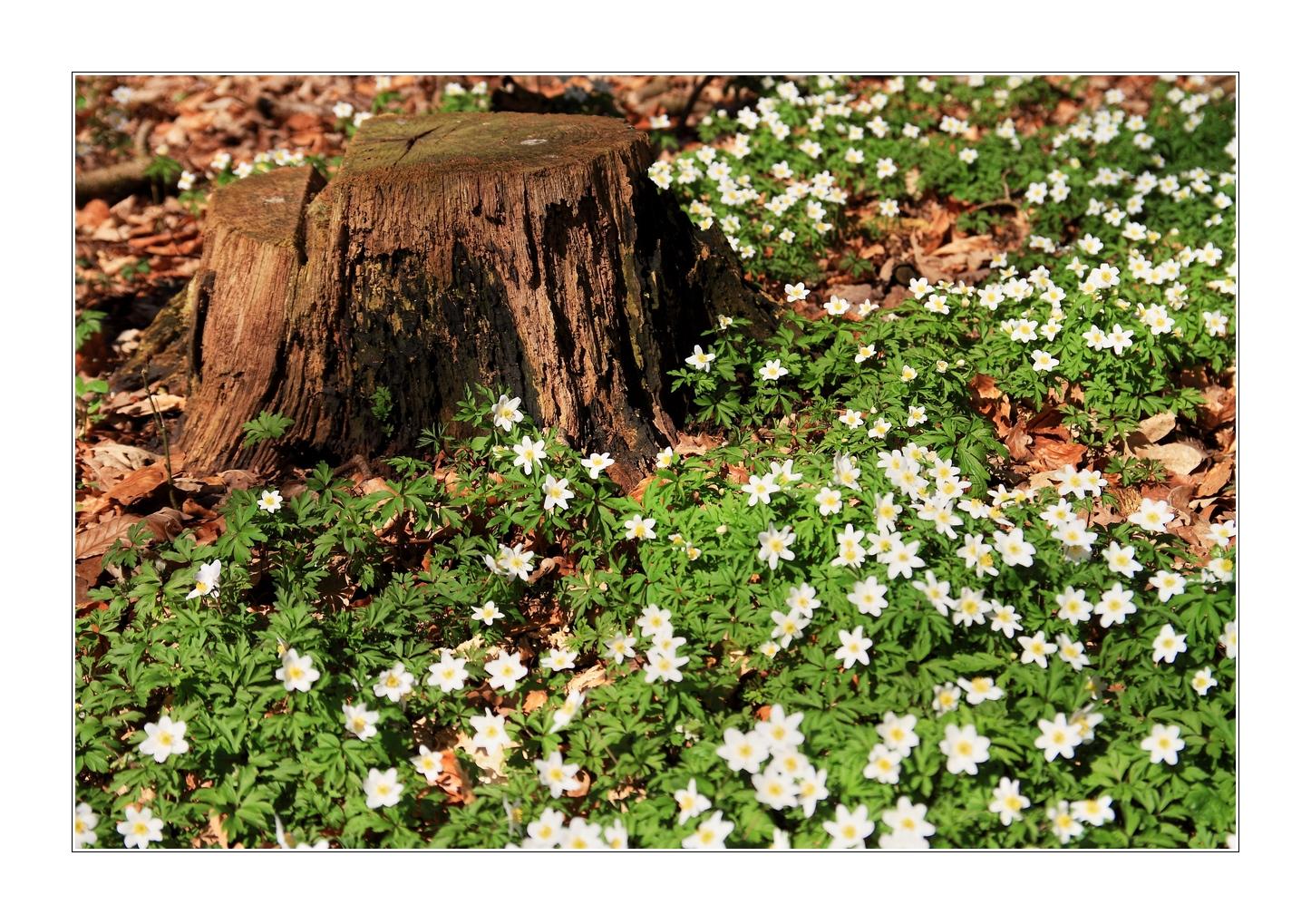 Anemonenblüte im Gespensterwald