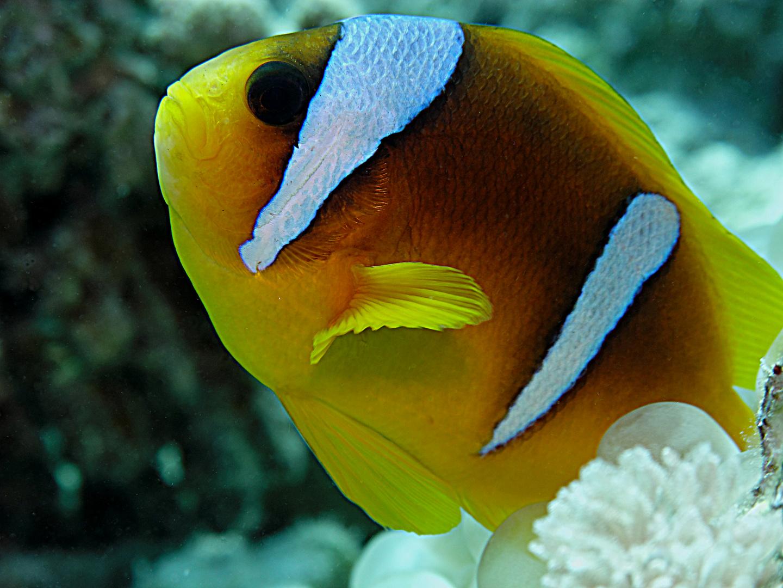 Anemonenfisch 2