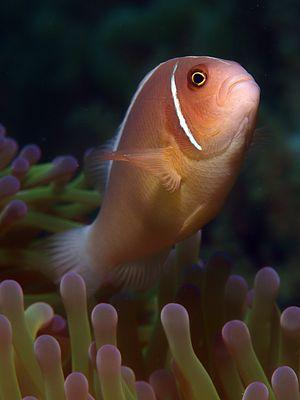 Anemonenfisch in Drohhaltung