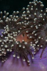 Anemonenfisch versteckt