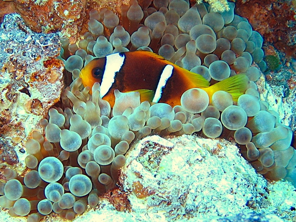 Anemonenfisch1