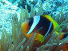 Anemonenfisch2
