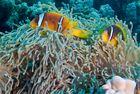 Anemonenfischchen