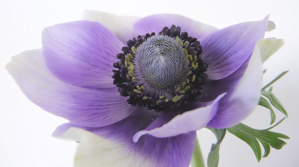 . anemonenfrühling .