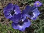 Anémones bleues