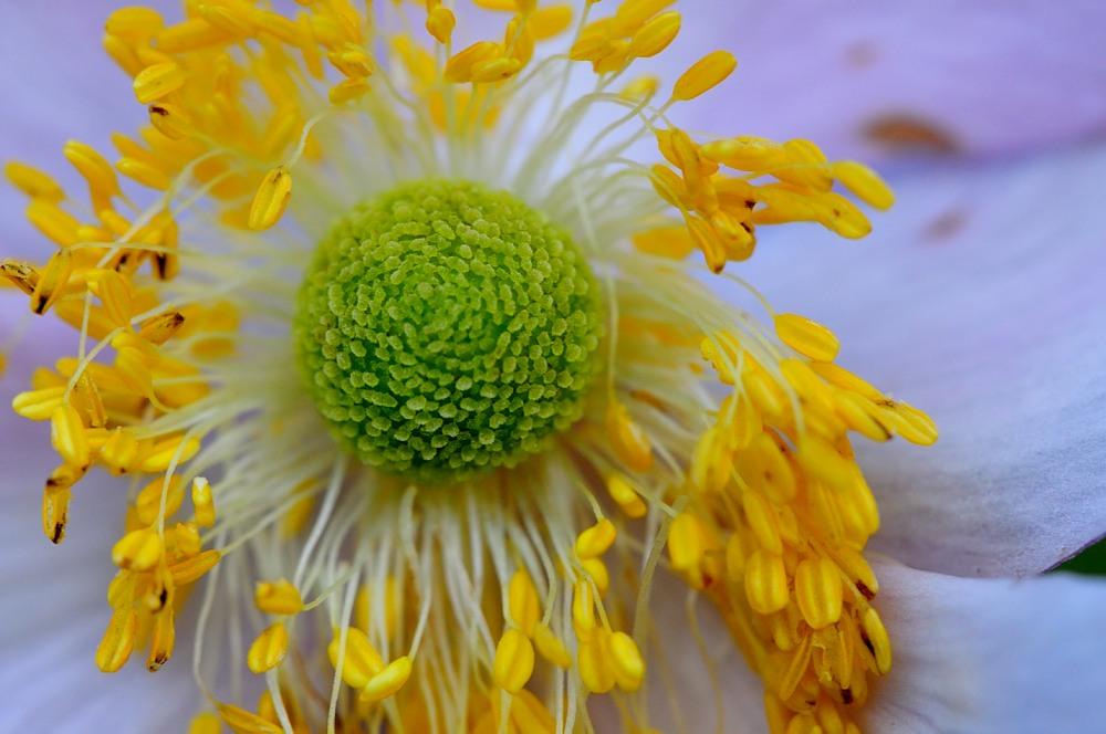 Anemonischer Blütenzauber