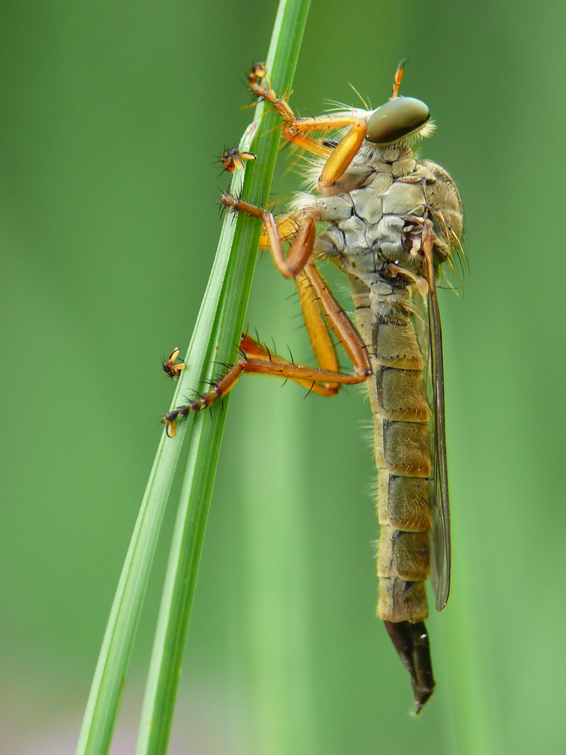 Aneomochtherus flavicornis