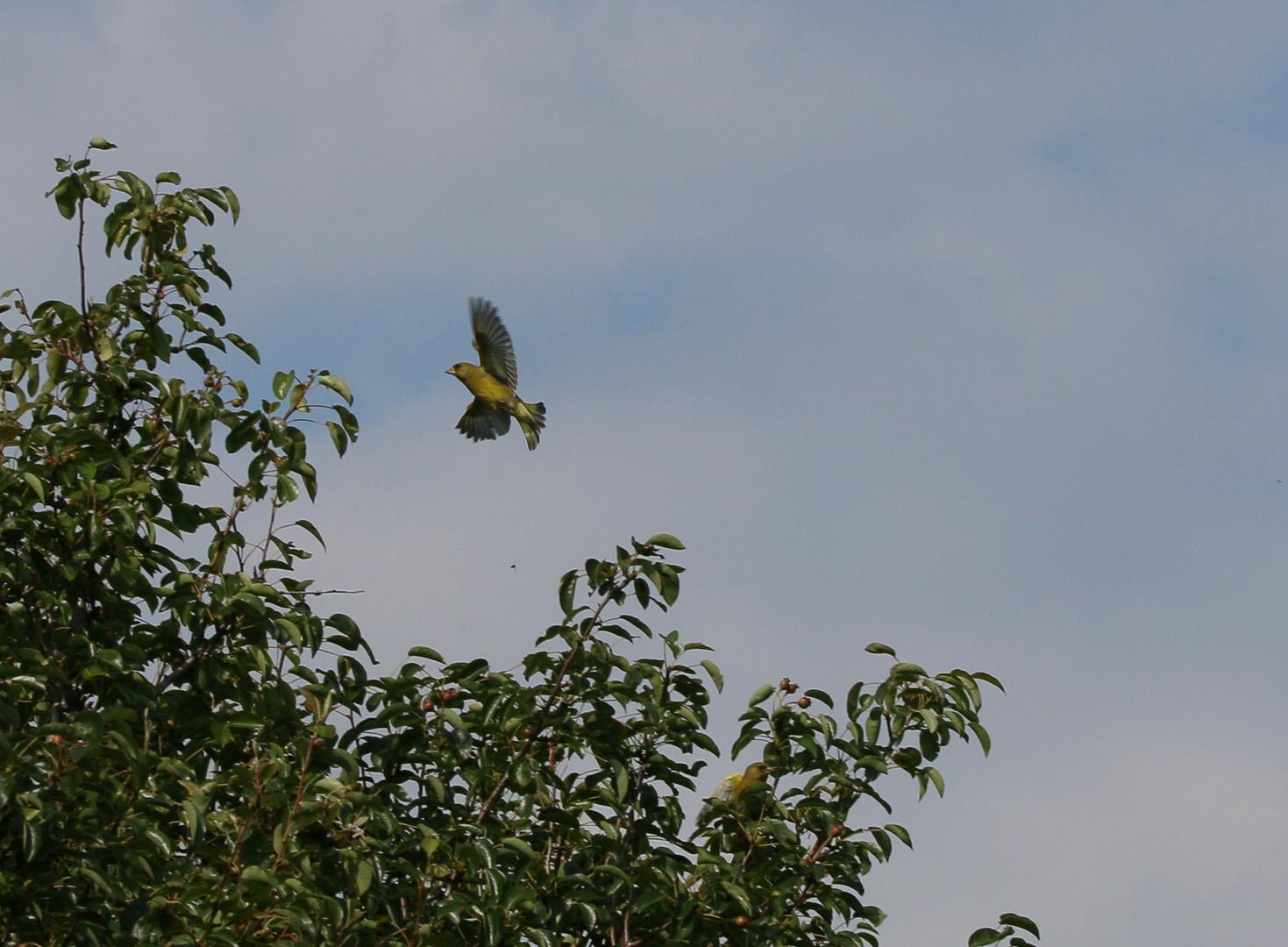 anfliegender Grünfink