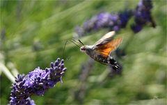 Anflug des Taubenschwänzchen auf Lavendelblüte