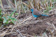 Angola Schmetterlingsfink - Blue Waxbill (Uraegintus angolensis)