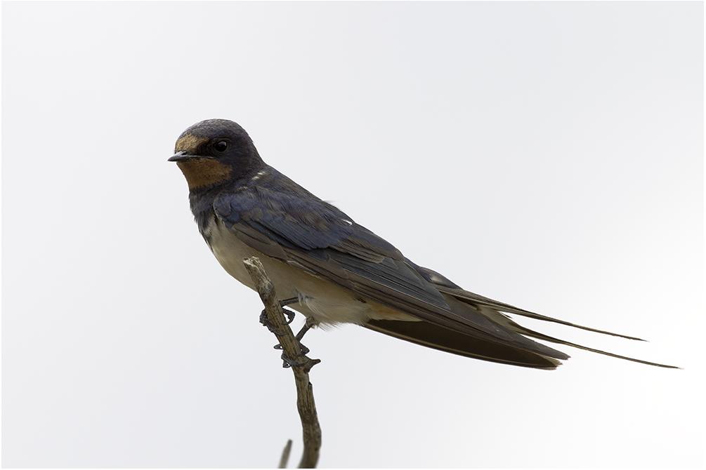Angolaschwalbe (Hirundo angolensis)...