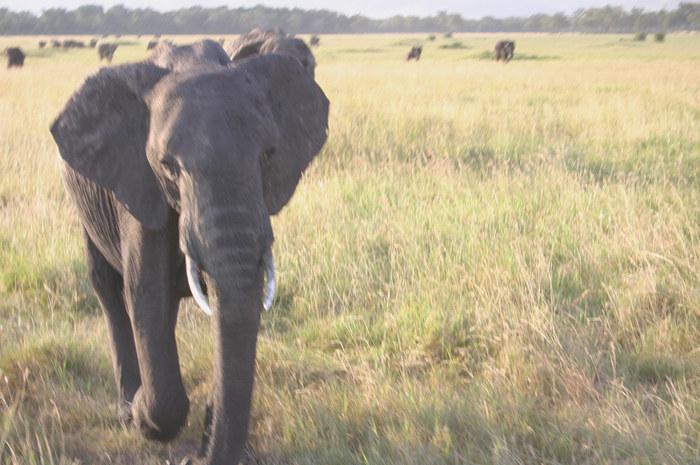 Angriff eines Elefanten