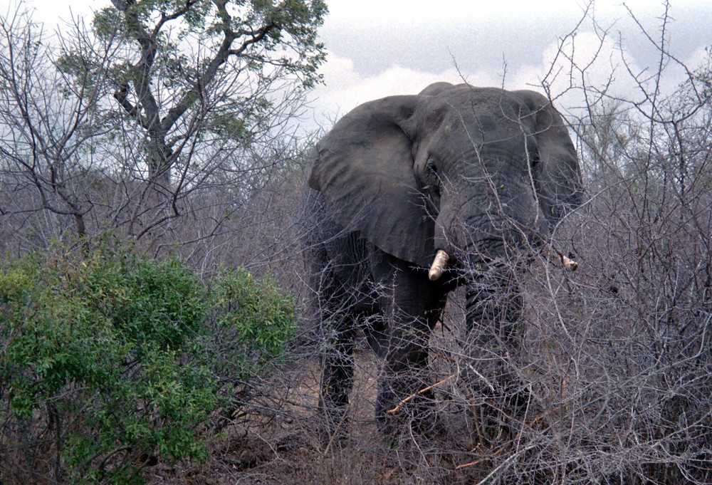 Angriff eines Elefantenbullen im Krüger N.P.