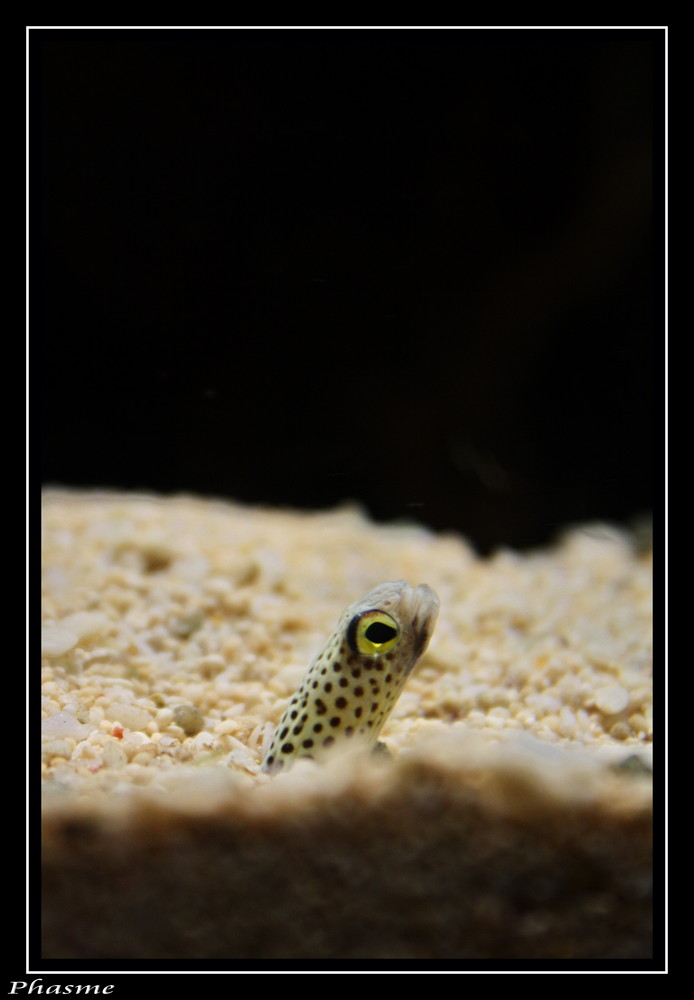 anguille tubicole