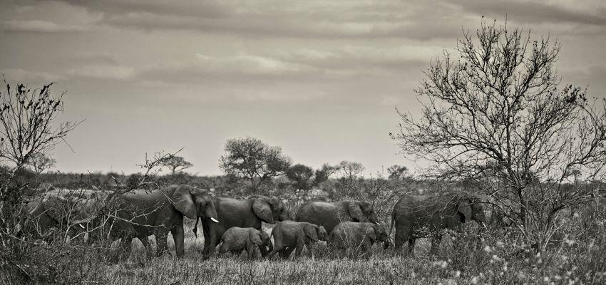 anima selvatica *elefanten.herde* I monocrome