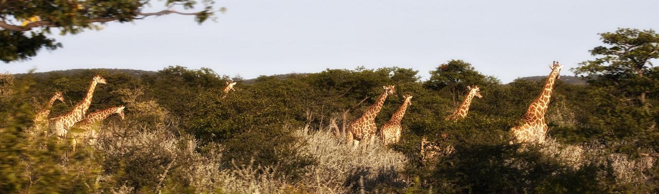 anima selvatica *giraffen.herde* I
