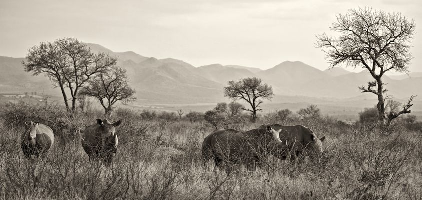 anima selvatica *Nashorn* II monocrome