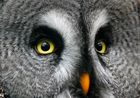 Animals eye-to-eye: ein Bartkauz mit 300 mm