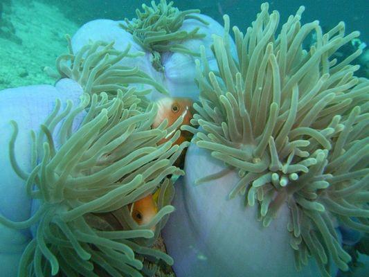 Annemonenfische