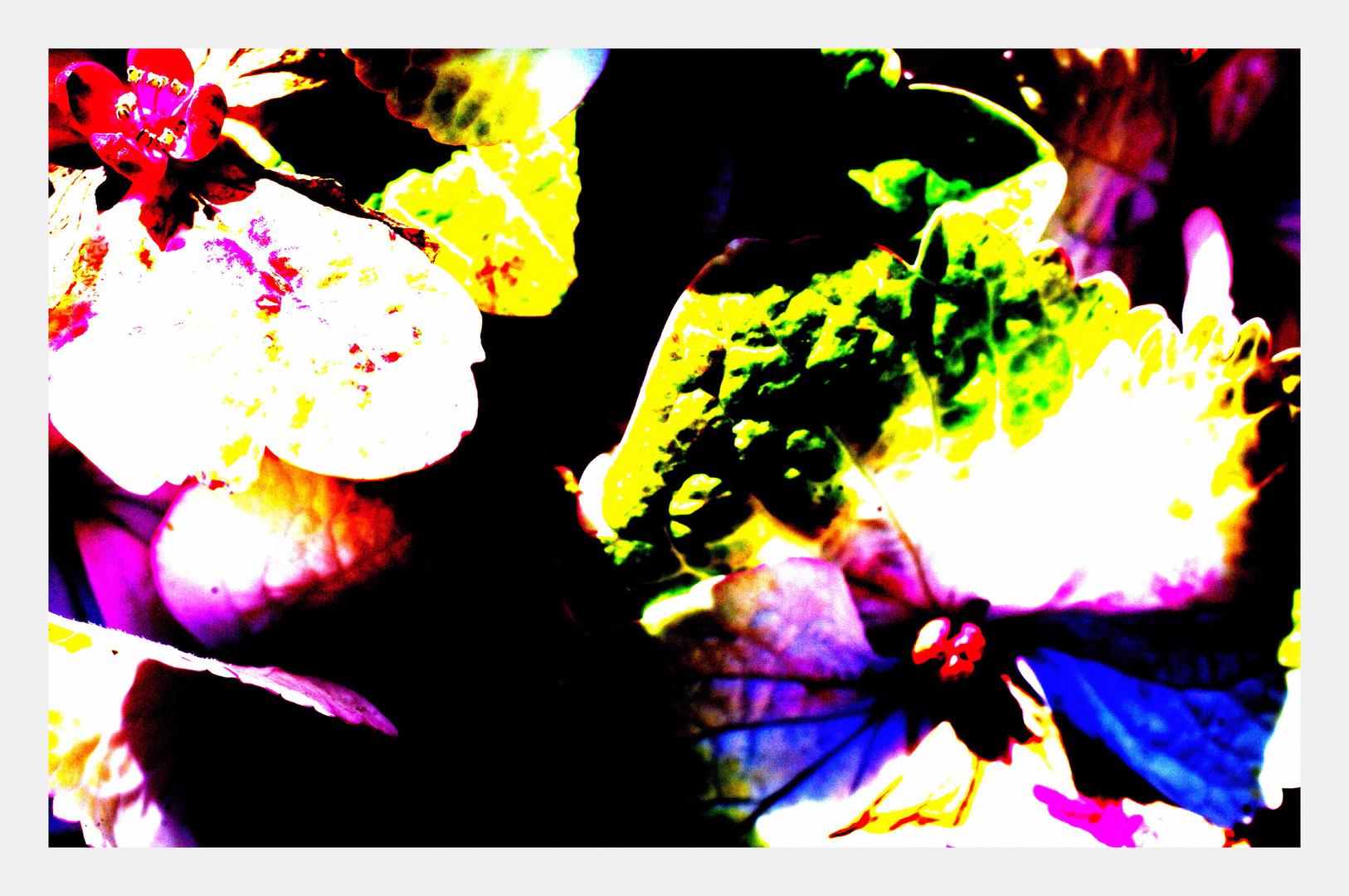 Annes Hortensienkauf