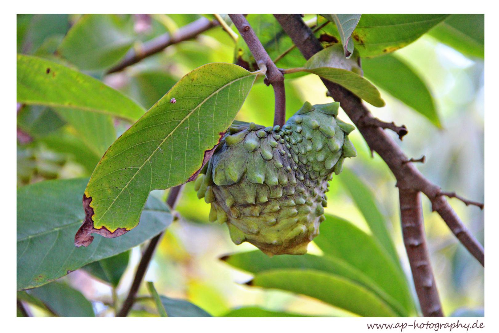 Annona Fruit