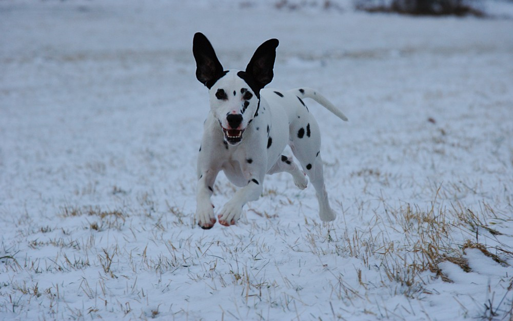 ...another flying Dalmatian