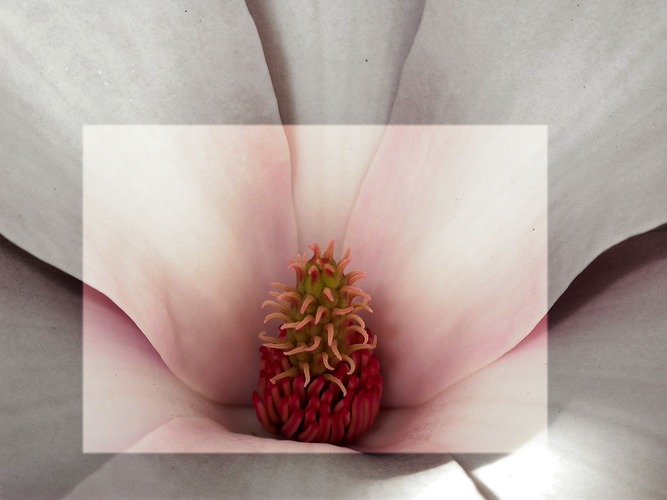 another magnolia