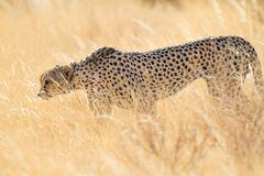 Anschleichender Gepard