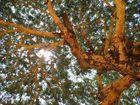 Ansicht eines tropischen Baumes in Mingun - Nähe Mandalay