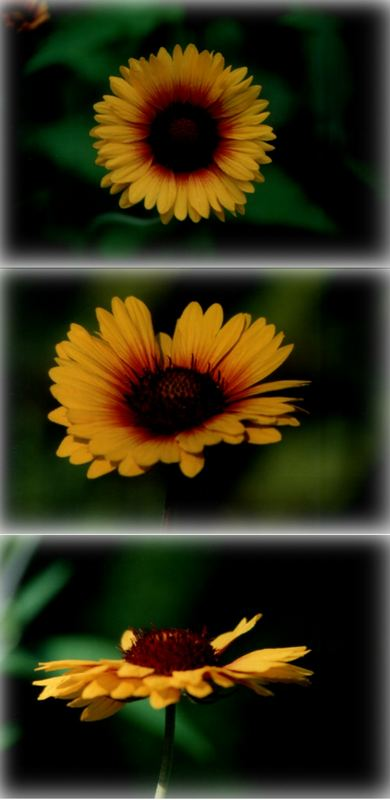 Ansichten einer Kokardenblume...