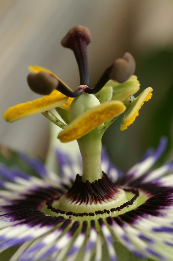 Ansichten einer Passiflora 2