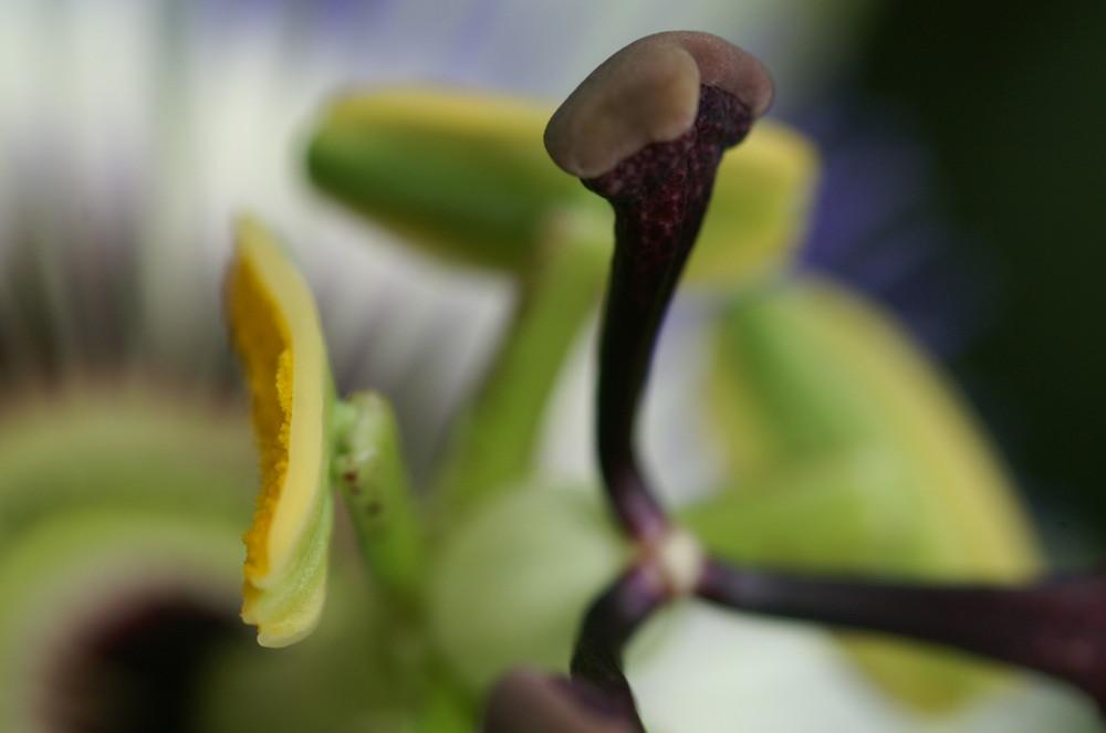 Ansichten einer Passiflora 5