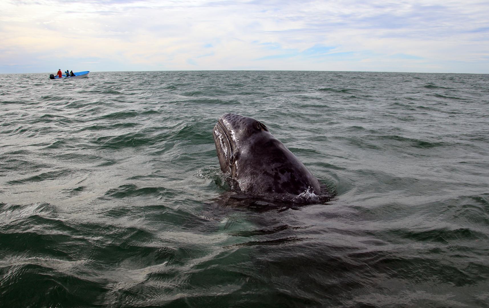 Ansichten eines Grauwals II