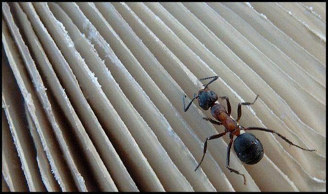 Ant at work at a mushroom