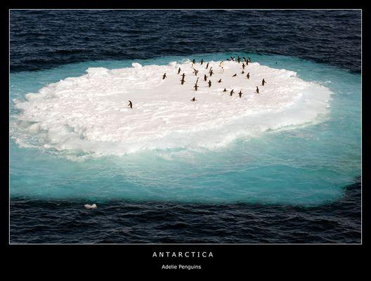 Antarctica • Adelie Penguins