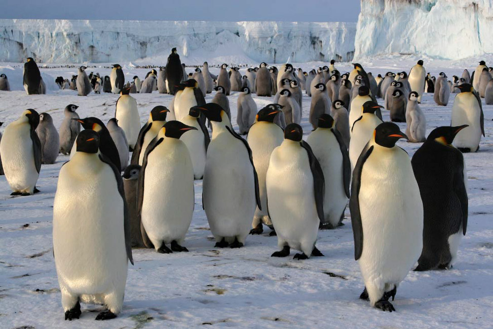 Antarctique, Colonie de manchots empereurs