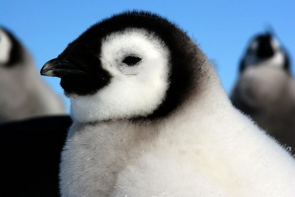 Antarctique, Jeune manchot empereur