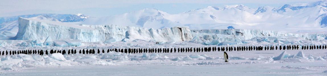 Antarctique, Longue marche des manchots empereurs