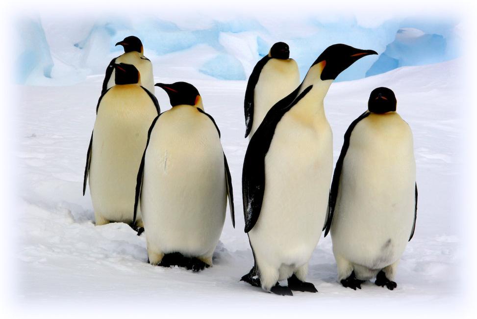 Antarctique (manchots empereurs)