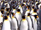Antarctique, Manchots royaux (king penguins)