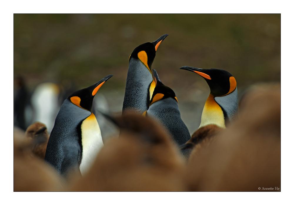 Antarktika [12] - Königspinguine