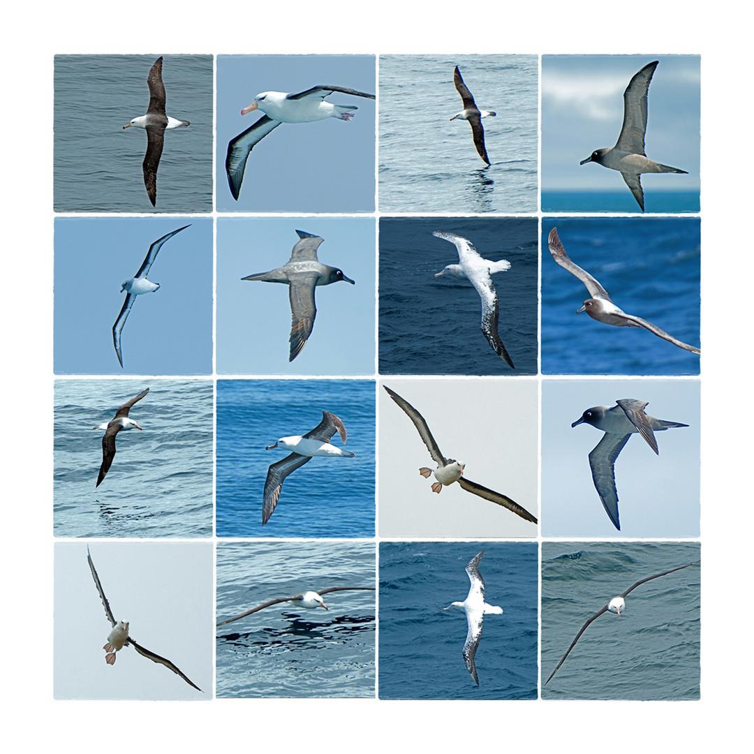 Antarktika [152] - Die Albatrosparade