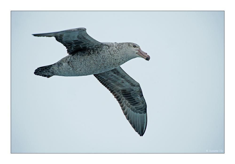 Antarktika [39] - Riesensturmvogel