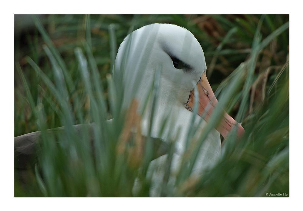 Antarktika [73] - Albatross