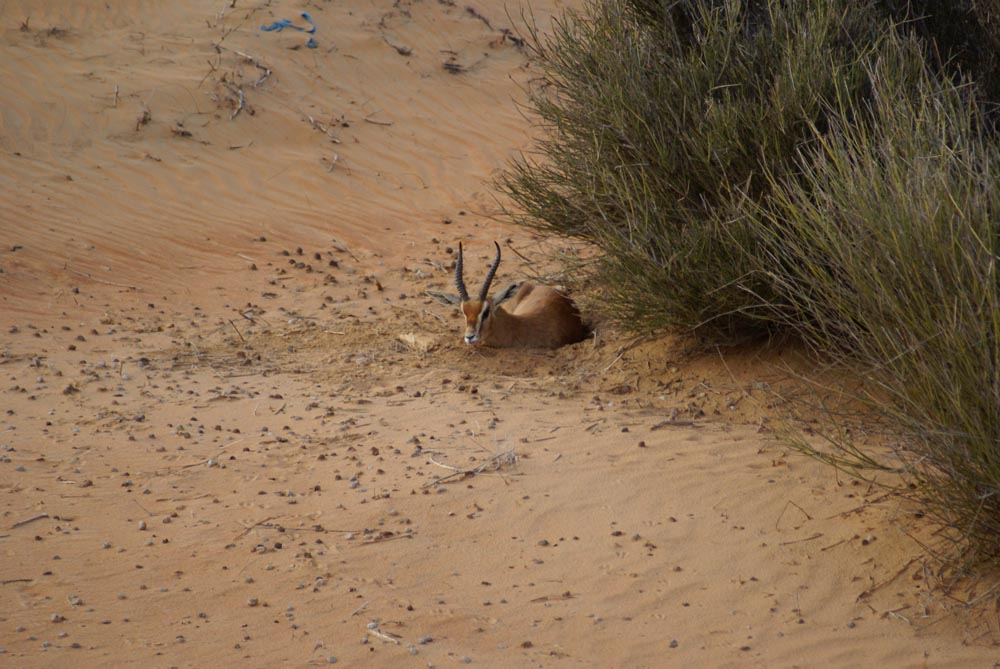 Antelope in the UAE Desert - Dubai