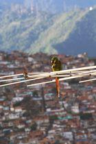 Antena Guacamaya