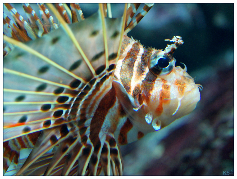 Antennen Feuerfisch